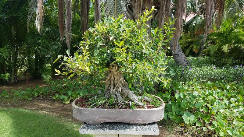 Kleine bonsaiboom met groene bladeren op cementlijst in Guanica, Puerto Rico stock foto's