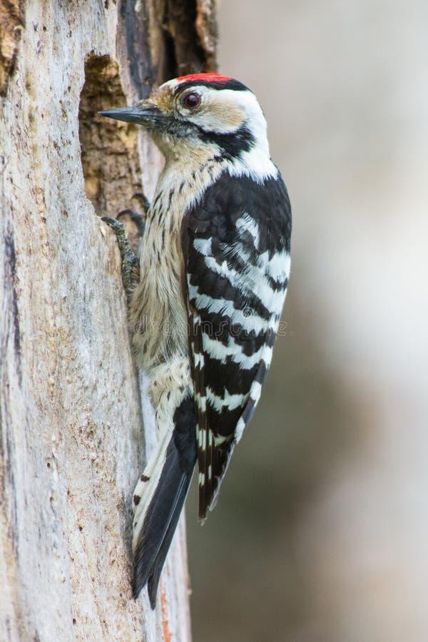 Kleine Bonte Specht, Lesser Spotted Woodpecker, Dendrocopos-mino lizenzfreie stockbilder