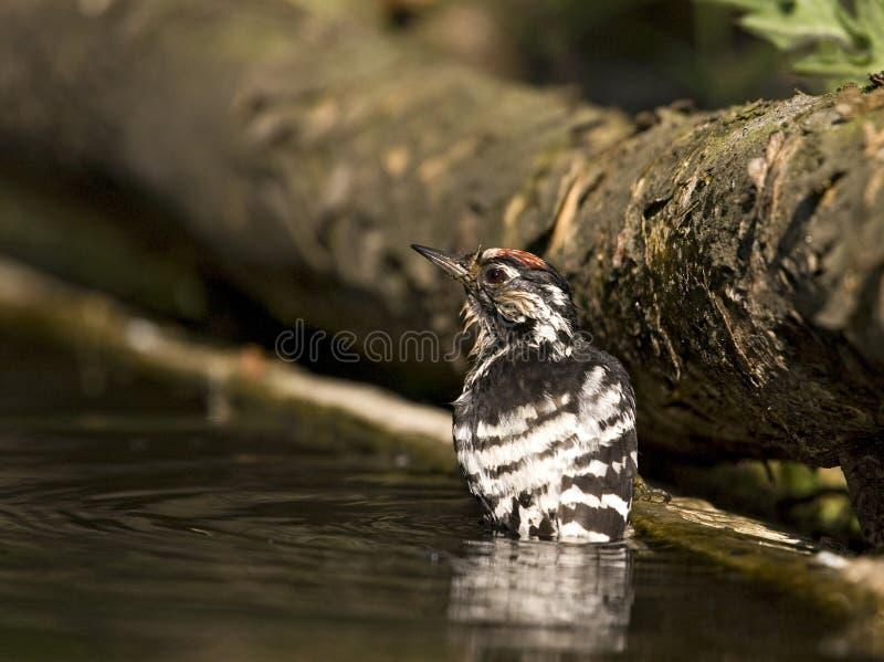 Kleine Bonte Specht, Lesser Spotted Woodpecker, Dendrocopus-mino lizenzfreie stockfotografie