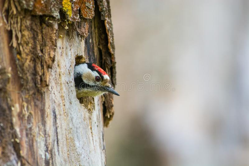 Kleine Bonte Specht, Lesser Spotted Woodpecker, mino de Dendrocopos imagen de archivo