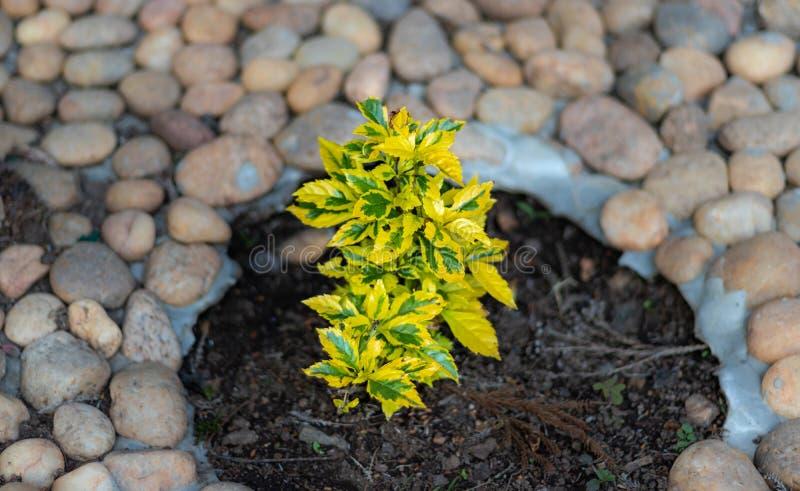 Kleine boom gele kleur met witte steenachtergrond stock foto's