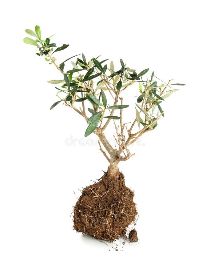 Kleine boom met wortels in grond op witte achtergrond royalty-vrije stock fotografie