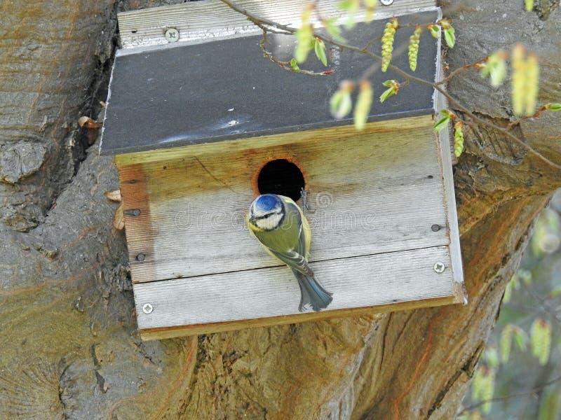 Kleine britische Vogelvögel der Blaumeise, die Nistkasten-Nest-Baumstamm hocken lizenzfreie stockfotografie