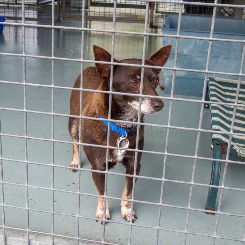 Kleine bruine dakloze schuilplaatshond in kooi bij het pond die op goedkeuring wachten stock foto's