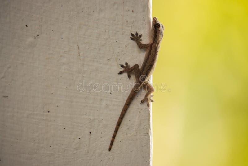 Kleine bruine hagedis op witte muur Het wildconcept Hagedisclose-up Reptielconcept royalty-vrije stock foto's