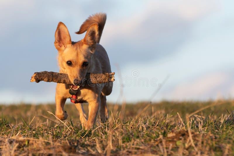 Kleine bruine hond die met houten stok in zijn mond op een droog weidegras lopen royalty-vrije stock afbeelding