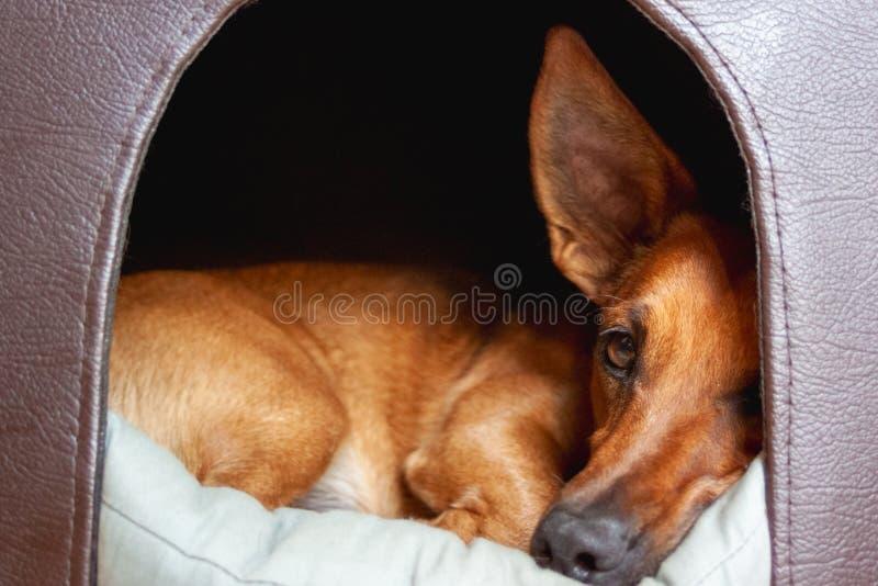 Kleine bruine leuke gemengde rassenhond die uit de deur van zijn hondehok kijken stock foto's