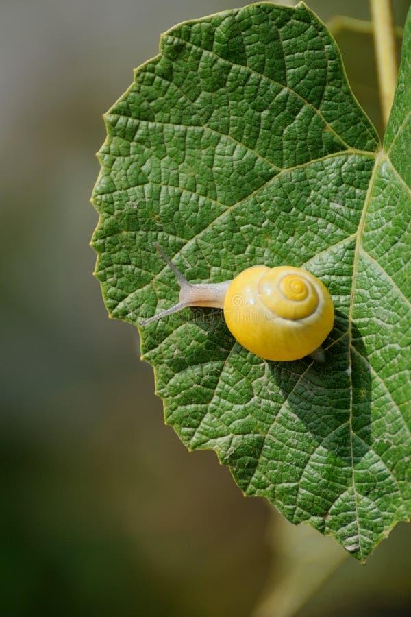 Kleine bruine slak op een blad stock fotografie