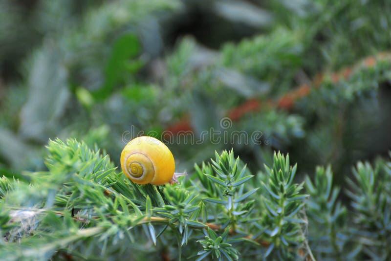 Kleine bruine slak op een blad royalty-vrije stock afbeelding
