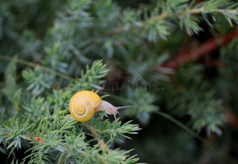 Kleine bruine slak op een blad stock foto's