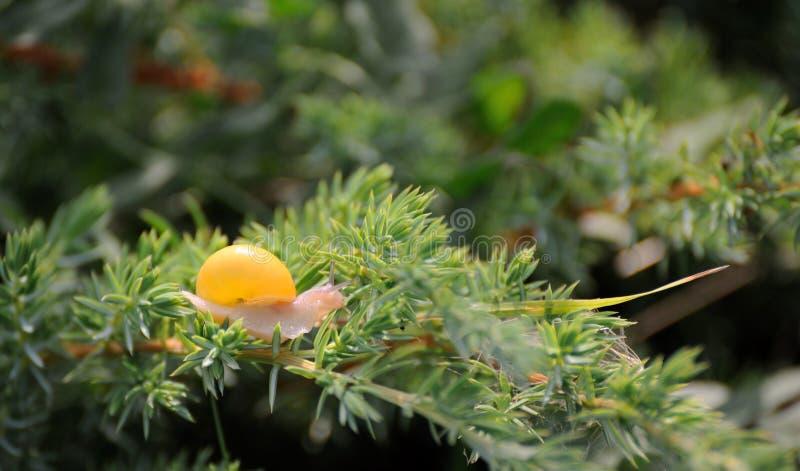 Kleine bruine slak op een blad royalty-vrije stock afbeeldingen