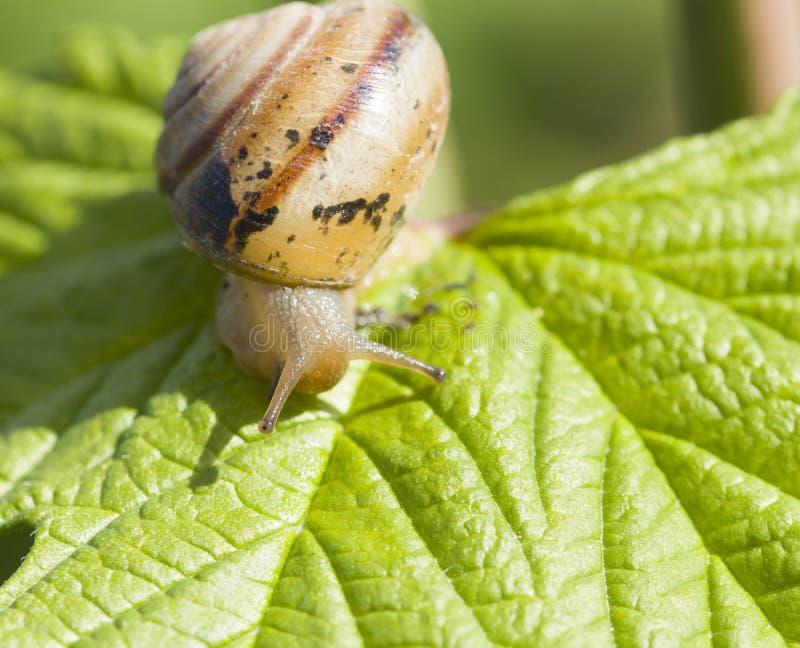 Kleine bruine slak op groen blad In daglicht stock afbeeldingen