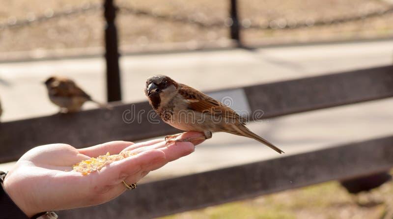 Kleine Bruine Vogels die Graan van een Vrouwen` s Hand eten royalty-vrije stock afbeelding
