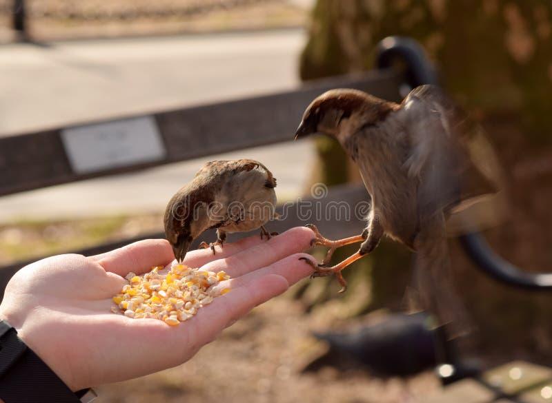 Kleine Bruine Vogels die Graan van een Vrouwen` s Hand eten stock foto