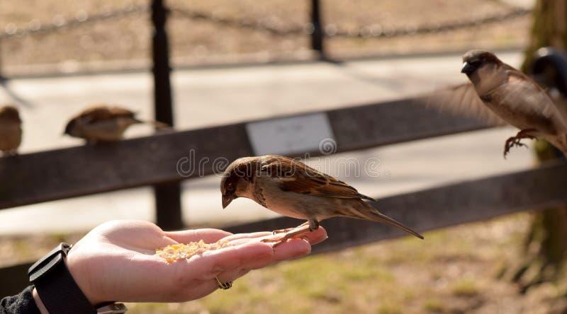 Kleine Bruine Vogels die Graan van een Vrouwen` s Hand eten stock afbeelding