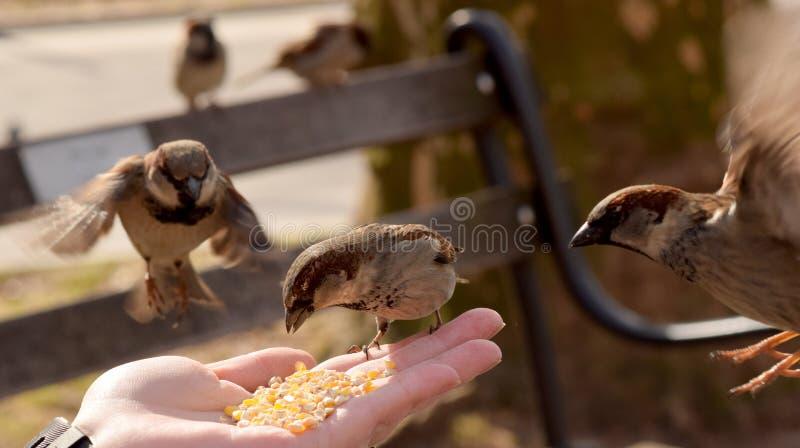 Kleine Bruine Vogels die Graan van een Vrouwen` s Hand eten royalty-vrije stock foto's