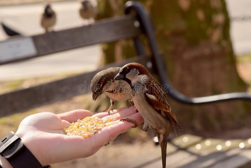 Kleine Bruine Vogels die Graan van een Vrouwen` s Hand eten royalty-vrije stock foto
