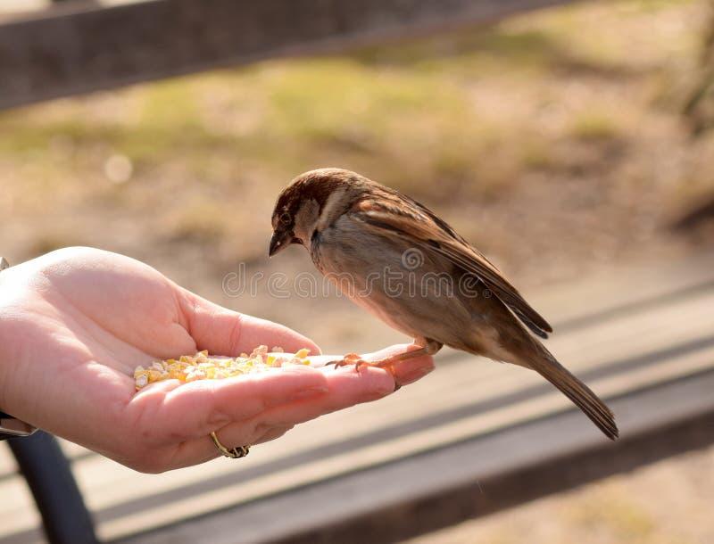 Kleine Bruine Vogels die Graan van een Vrouwen` s Hand eten royalty-vrije stock fotografie