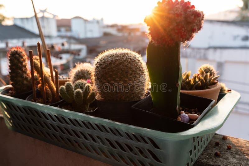 Kleine cactus in plastic mand met zonlicht in ochtendtijd stock fotografie