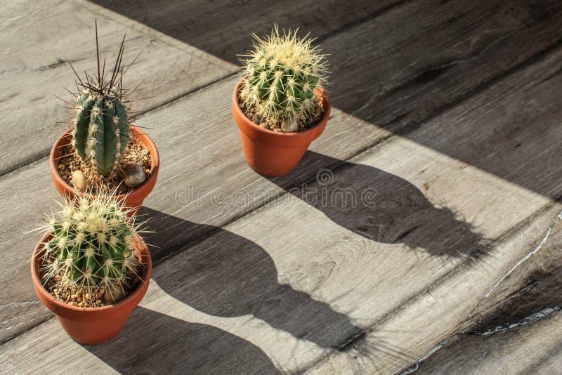 Kleine cactusinstallaties in pot, op grijs houten bureau, het gieten lange elft stock fotografie
