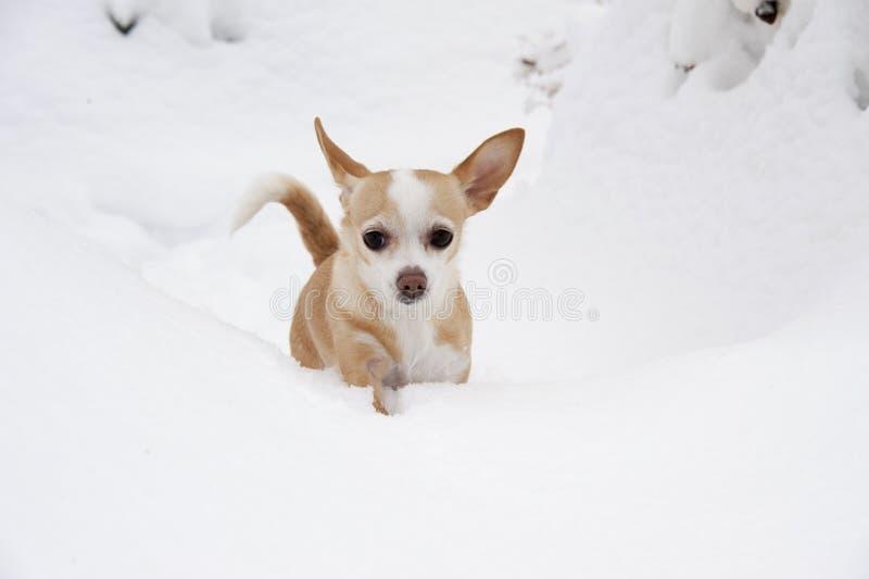Kleine Chihuahua im Schnee stockfotos