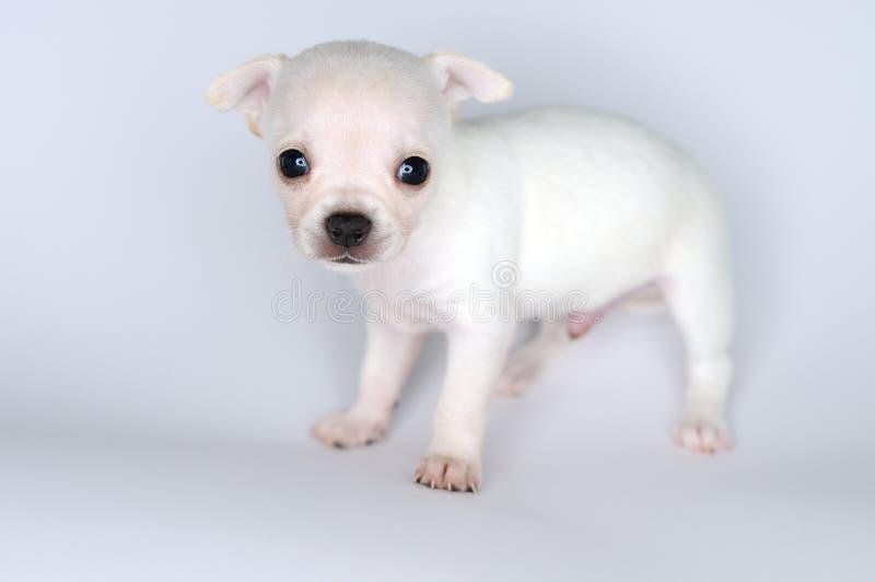 Kleine chihuahua van het hondpuppy met grote ogen royalty-vrije stock fotografie
