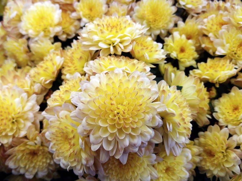 Kleine Chrysantheme Helle Gelb-weiße Blumen Hintergrund Der Blumen ...