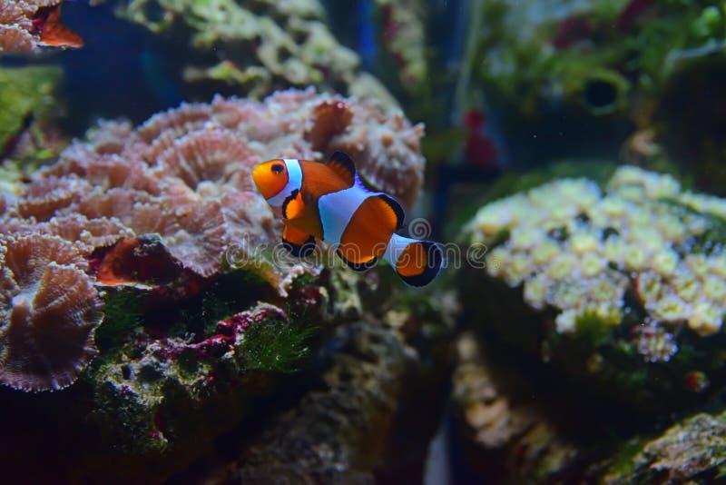 Kleine Clownvissen die omhoog met verschillende koralen op de achtergrond zwemmen stock foto