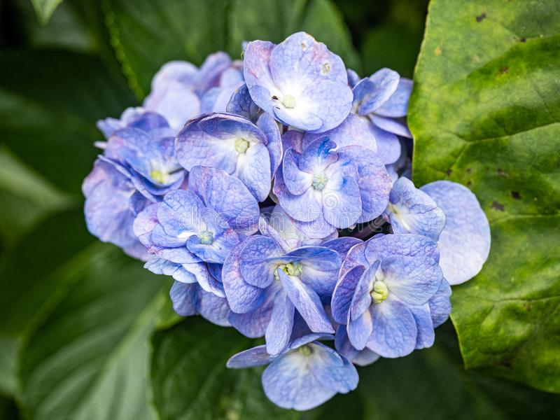 Kleine cluster van blauwe hydrangea hortensia's stock afbeeldingen
