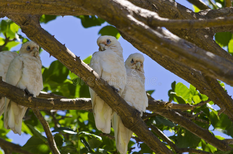 Kleine Corella Birds im Baum lizenzfreies stockbild