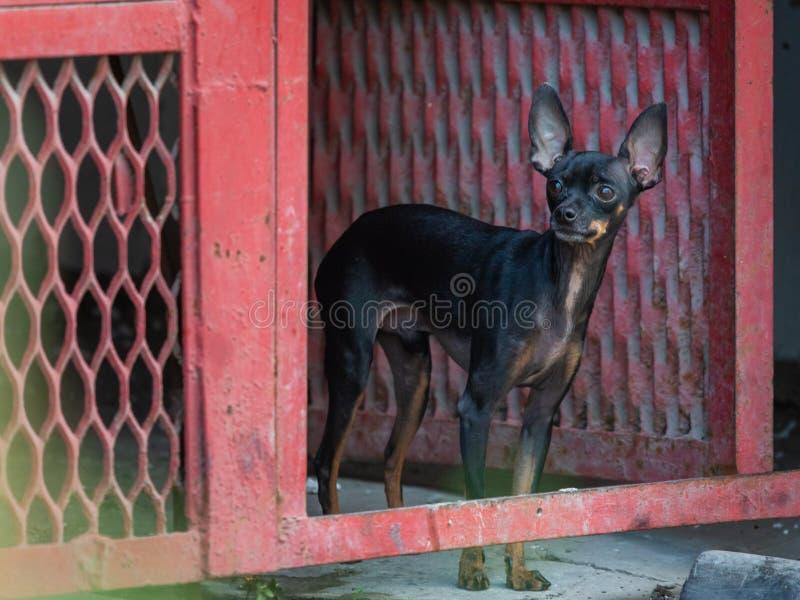 Kleine decoratieve bruine hond in deur Ras Russisch speelgoed-Terrier royalty-vrije stock fotografie