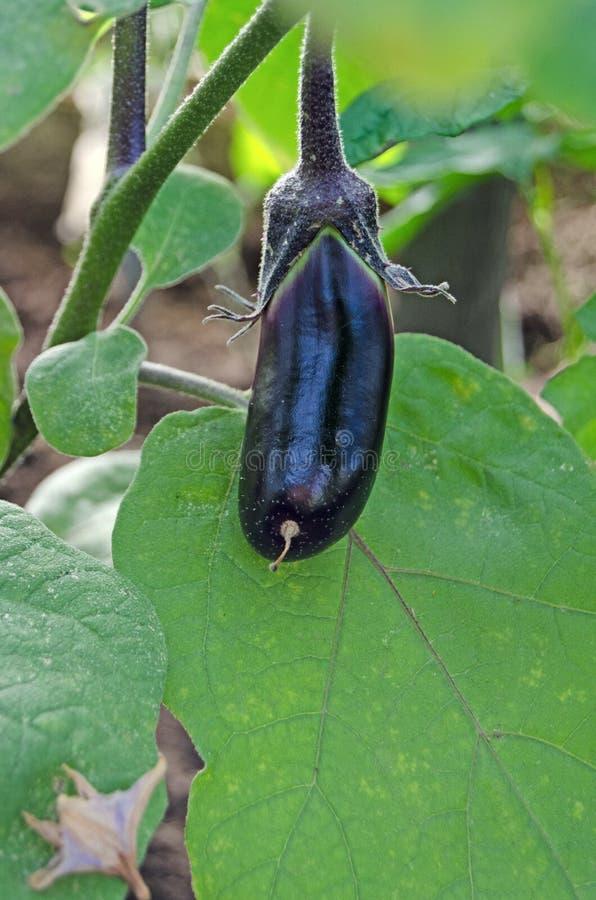 Kleine die aubergine in de serre wordt gekweekt royalty-vrije stock afbeelding