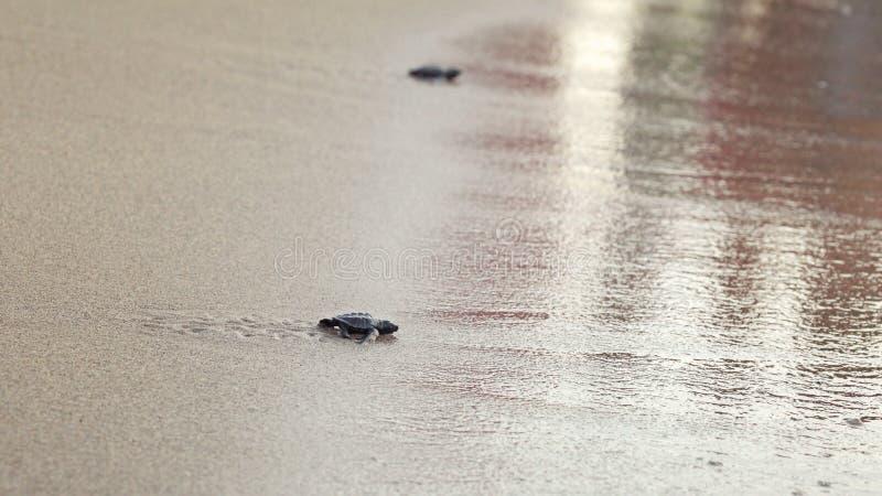 Kleine die babyschildpad, vlak na zonsondergang wordt uitgebroed, lopend op zand, die aan overzees proberen te krijgen royalty-vrije stock afbeelding