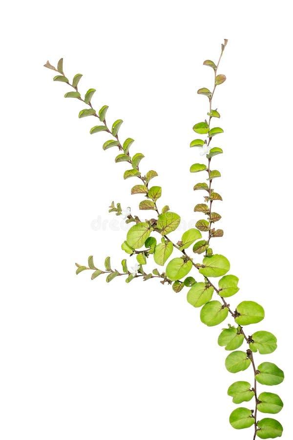 Kleine die klimplantinstallatie op witte achtergrond wordt geïsoleerd royalty-vrije stock afbeeldingen
