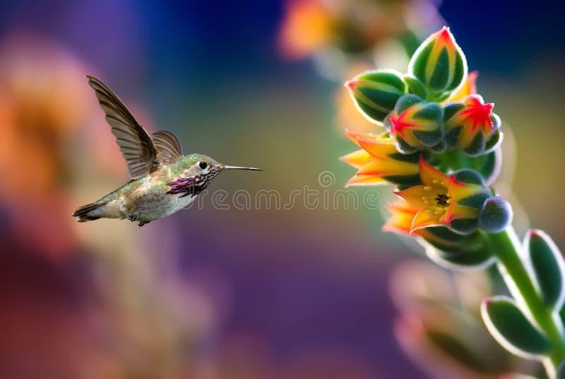 Kleine die kolibrie dichtbij bloemen in actie worden bevroren royalty-vrije stock foto's