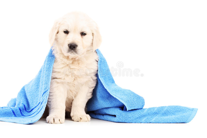 Kleine die labrador retriever-hond met blauwe handdoek wordt behandeld royalty-vrije stock foto