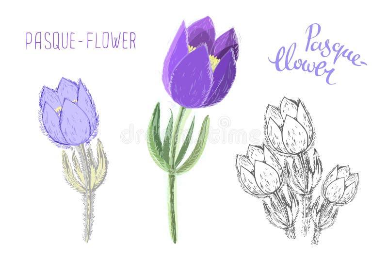 Kleine die pasquebloemen op witte achtergrond worden geïsoleerd Botanische tekening van eeuwigdurende giftige bloeiende binnen ge stock illustratie