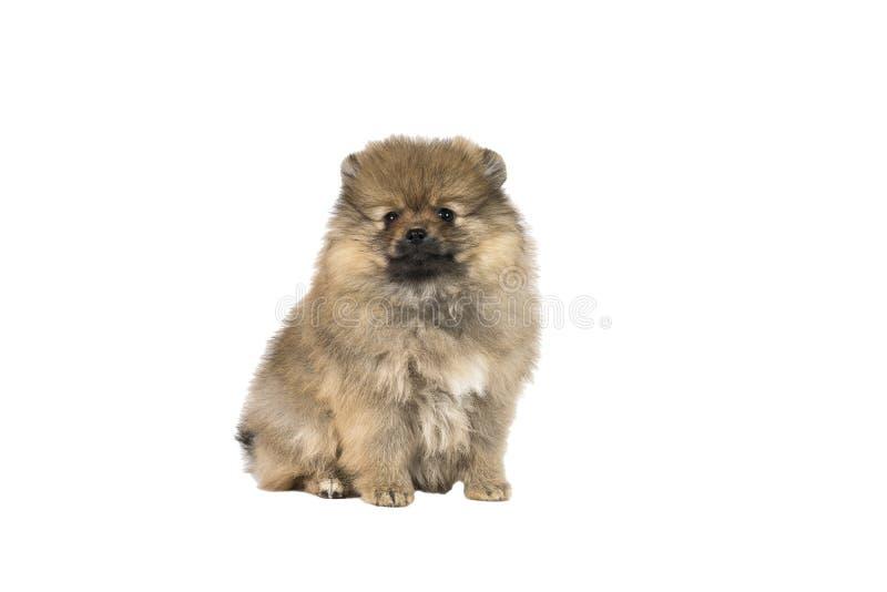 Kleine die Pomeranian-puppyzitting op een witte achtergrond wordt geïsoleerd stock afbeeldingen