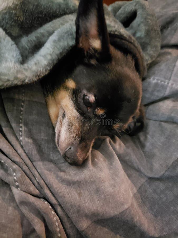 Kleine Doggy schläft in ihrem Bett stockfotografie