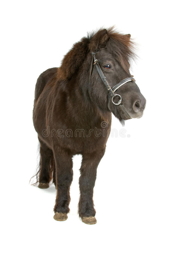 Kleine donkere bruine poney stock foto's