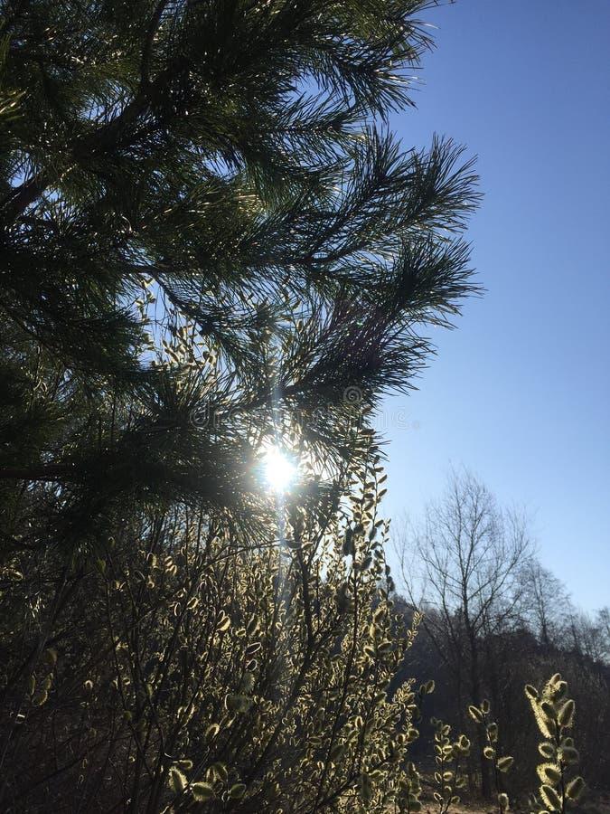 Kleine, eben gepflanzte schottische Kiefer Pinus silvestris lizenzfreie stockbilder