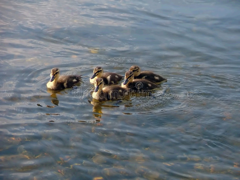 Kleine eendjes die in een groep zwemmen royalty-vrije stock foto