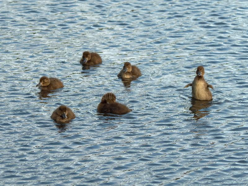Kleine eendjes die op het water spelen stock afbeeldingen