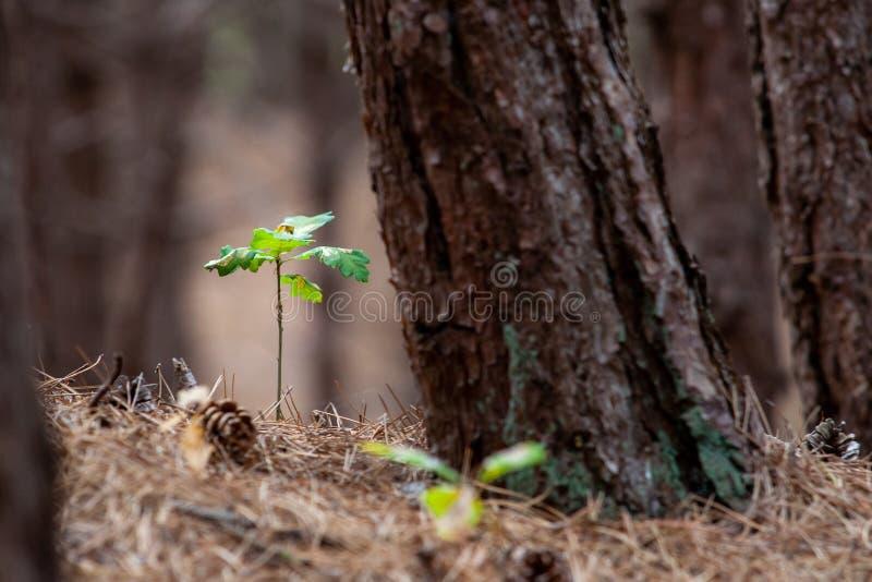 Kleine Eichenanlage in einem Wald zwischen den Kiefernnadeln und der Kiefer c lizenzfreie stockfotografie