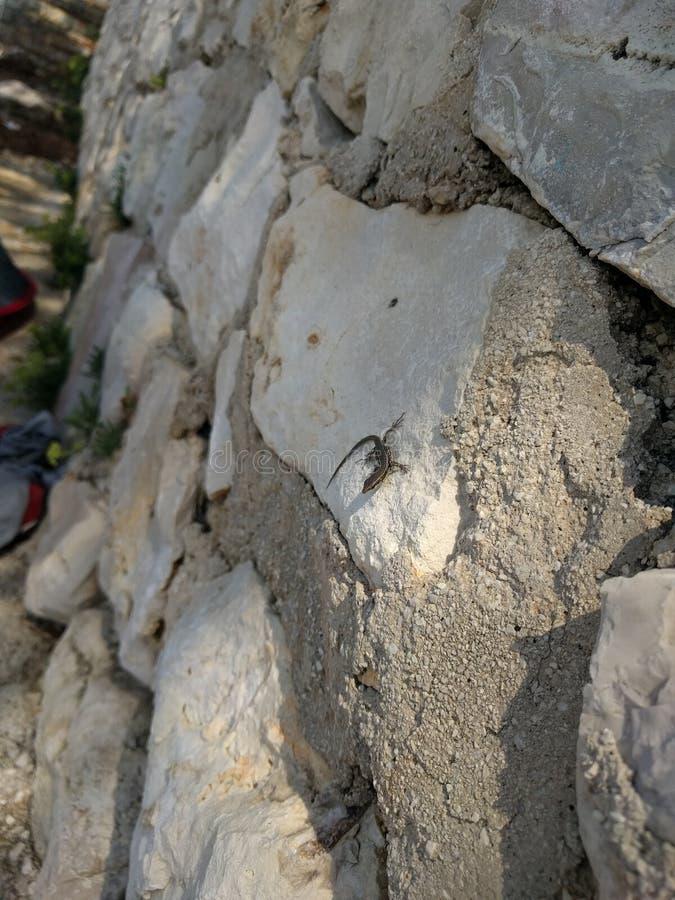 Kleine Eidechse auf weißer Felsenwand stockfotografie
