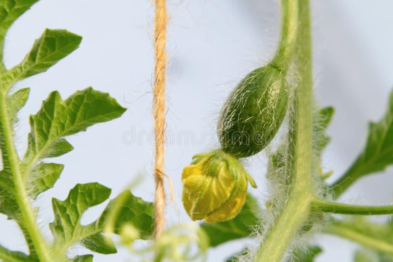 Kleine eierstok van watermeloen met een bloem in een serre stock foto's