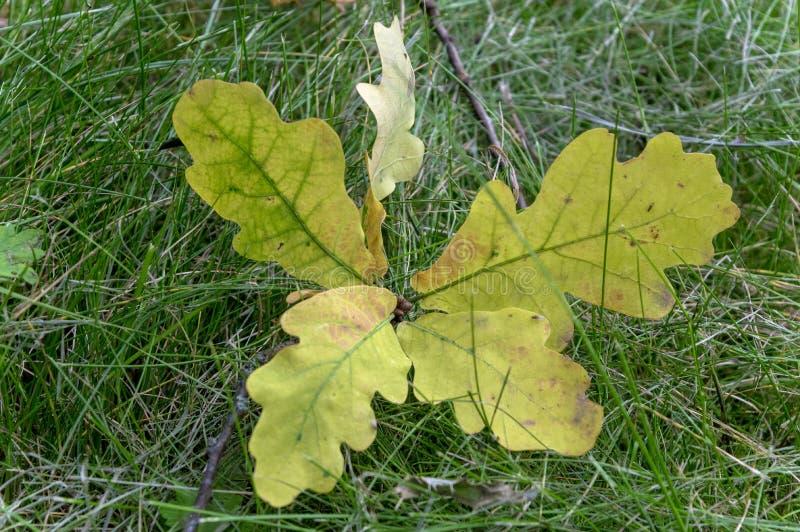 Kleine eiken spruit in het groene gras stock fotografie