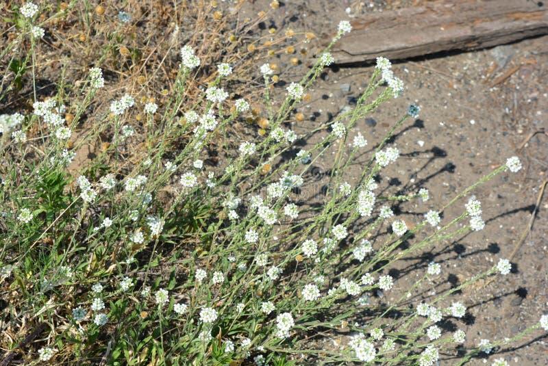 Kleine en leuke witte bloemen met groene bladeren op de achtergrond van een cementgang met heldere zonnige verlichting stock foto
