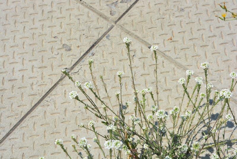 Kleine en leuke witte bloemen met groene bladeren op de achtergrond van een cementgang met heldere zonnige verlichting royalty-vrije stock afbeelding