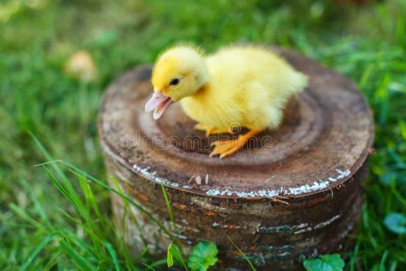 Kleine Ente auf einem Stumpf in einer Wiese mit grünem saftigem Gras lizenzfreies stockbild